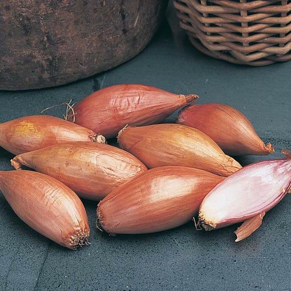 Shallot vs Green Onion